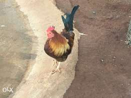 Kapokkie chickens for sale per pair