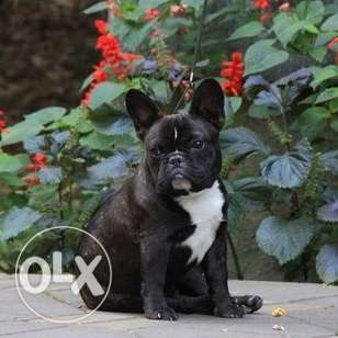 French Bulldog boy puppy with Spanish descent.
