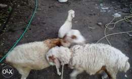 Buy two get a lamb free