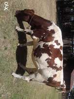 Aryshire and fresian cows for sale!!!