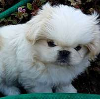 White Pekingese Male Puppy