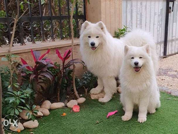 Samoyed Puppies champion Bloodline full Documents
