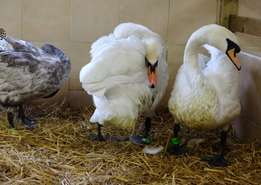 All Species of Swans and Water Fowls for Sale