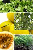 Yellow Passion Fruits Seedlings (Yee variety)