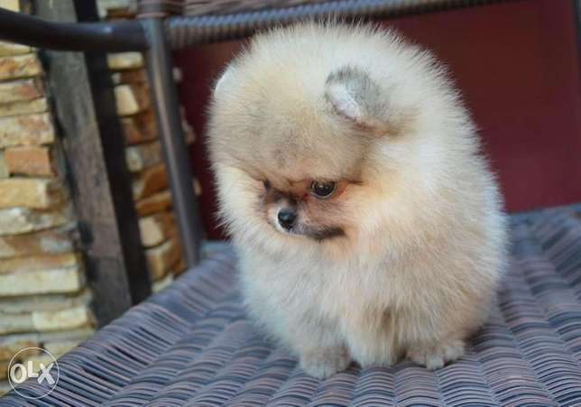 Cream pom puppy's for sale