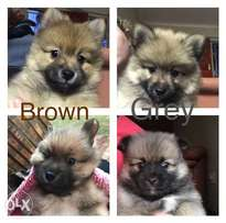 Toypom male puppies