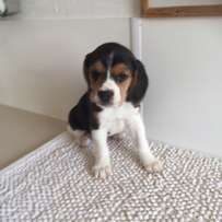 Gorgeous Pedigree Beagle puppies for sale.