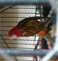1 Pair of Rosellas for sale