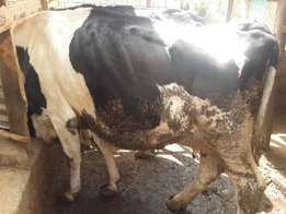 Friesian Cows on Sale at Thika. Price ranging from 120k to 150k