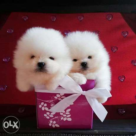 Male and female toy Pomeranian puppies available