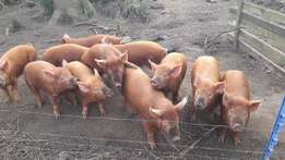 15 Tamworth Growing Weaners