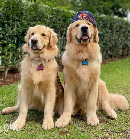 Golden puppies from this too champion parents