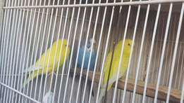 3 Young Budgies for sale