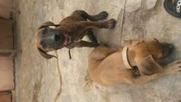 Boerboel puppies for a cool 1100