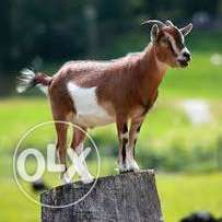 Goat suitable for Easter Feast