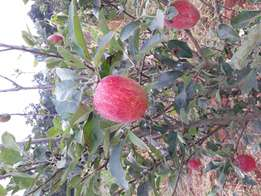 High breed grafted apple