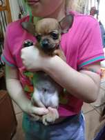 Miniature Chihuahua puppy for sale - Hurry only one available!