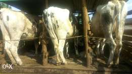 Pure pedigree incalf heifers for sale.