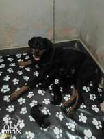 Rottweiler puppies 100% pure breed