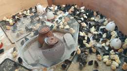kuroiler/kroiler chicks for sale