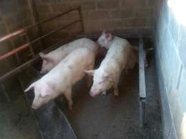 Grower and finisher pigs for sale