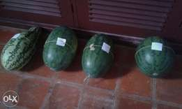 Watermelon - Farm fresh, Kilifi