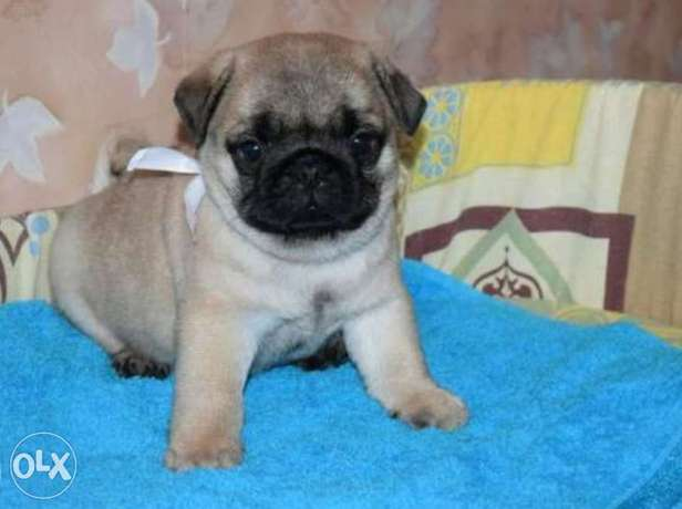 Reserve ur imported mini pug puppy from Ukraine with Pedigree