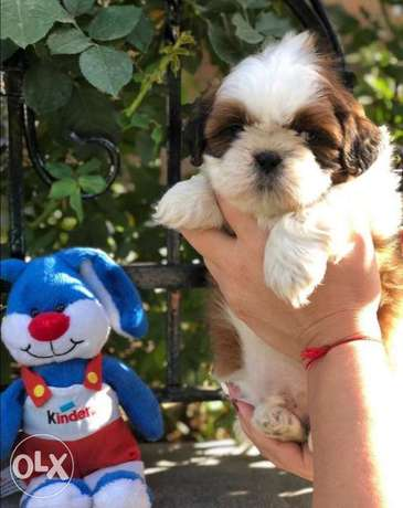 Imported Shihtzu puppies for sale,top quality with Pedigree,All colors مدينة الرحاب -  2