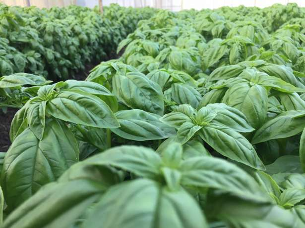 Fresh organic sweet Basil in Juja Farm only 250 per kg Thika - image 1