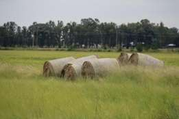 Teft round netted bales 300kg+, green, well fertilized