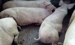 Mature Large White and Duroc Sows For Sale in Muranga