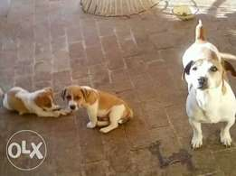 Jack Russell pa and ma Canine registered well bred puppies
