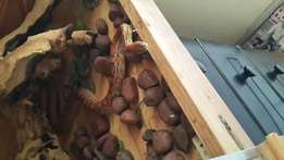 Snake in good condition and wooden bick cage