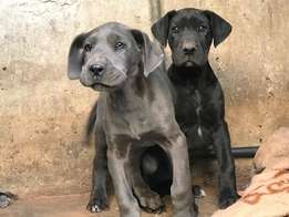 2 Pure Bred Female Great Dane Puppies for Sale