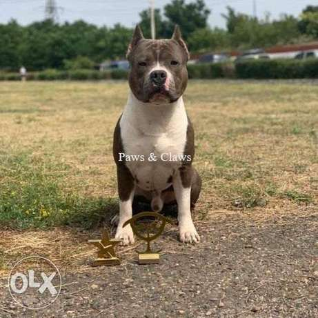 Boys and girls of the American Staffordshire Terrier from purebred
