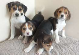 Beautiful Beagle Puppy's