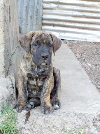 Brindle Boer puppies Karen - image 5