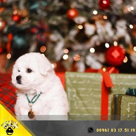 I am glad to offer bichon puppies from parents of show class