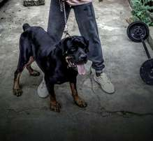 Adult Rottweiler male for sale