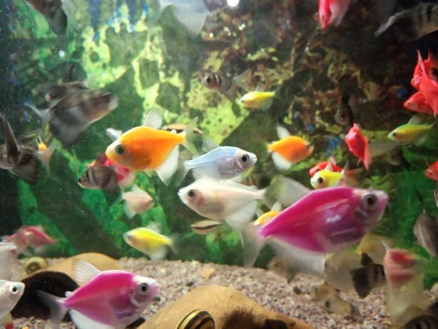 акваріумні фото рибки