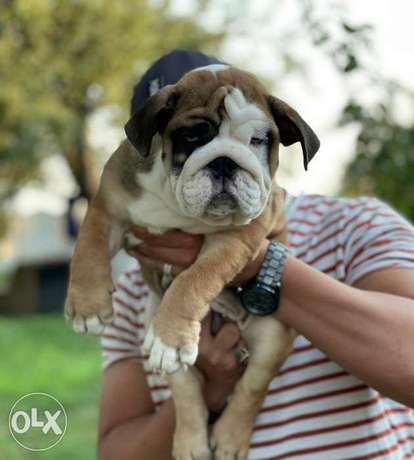 Arrived To Egypt 2 Months English Bulldog Male Full Documents Top Qual