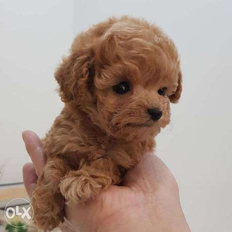 Red toy-poodle puppies for sale