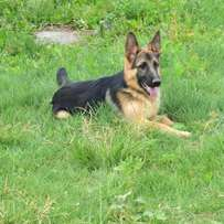 Gsd median coat available