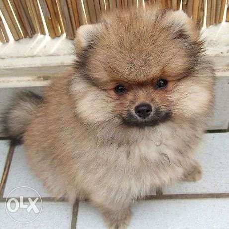 Pomeranian || Imported || ADORABLE!!