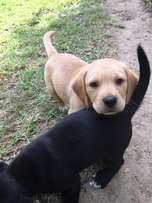 Labbe retriever puppies for sale.