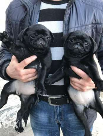 TOP QUALITY, Imported mini pug puppies..Home raised with all documents
