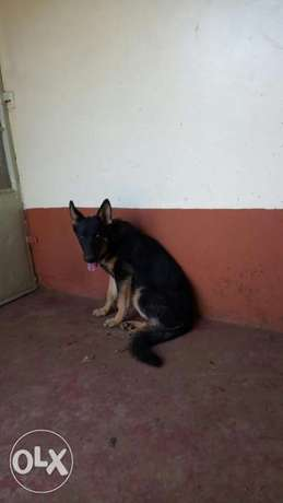 5 1/2 months old gsd sable female vaccinated and dewormed Akiba - image 1