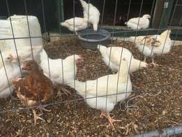 Young chicks & pullets for sale Egg layers