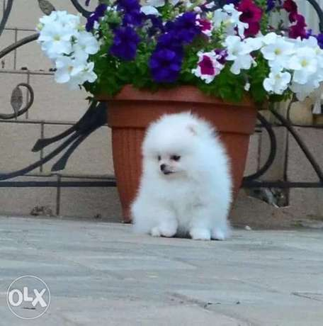 Pomeranian Tea Cup White Color With Passport and Microchip