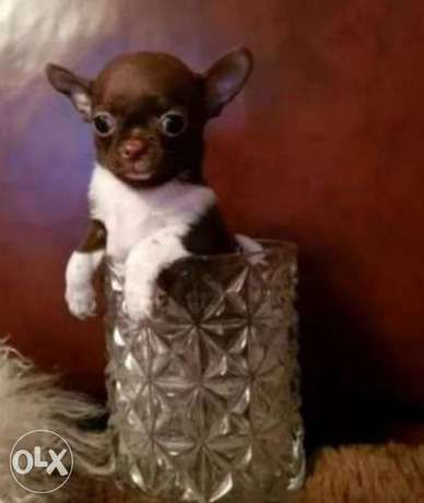Teacup Chihuahua puppies, imported with Pedigree.. Top quality